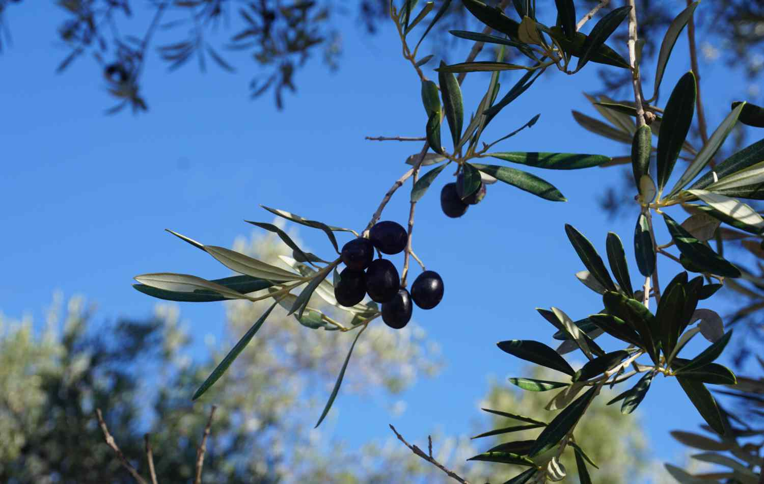 Olives hanging on a tree