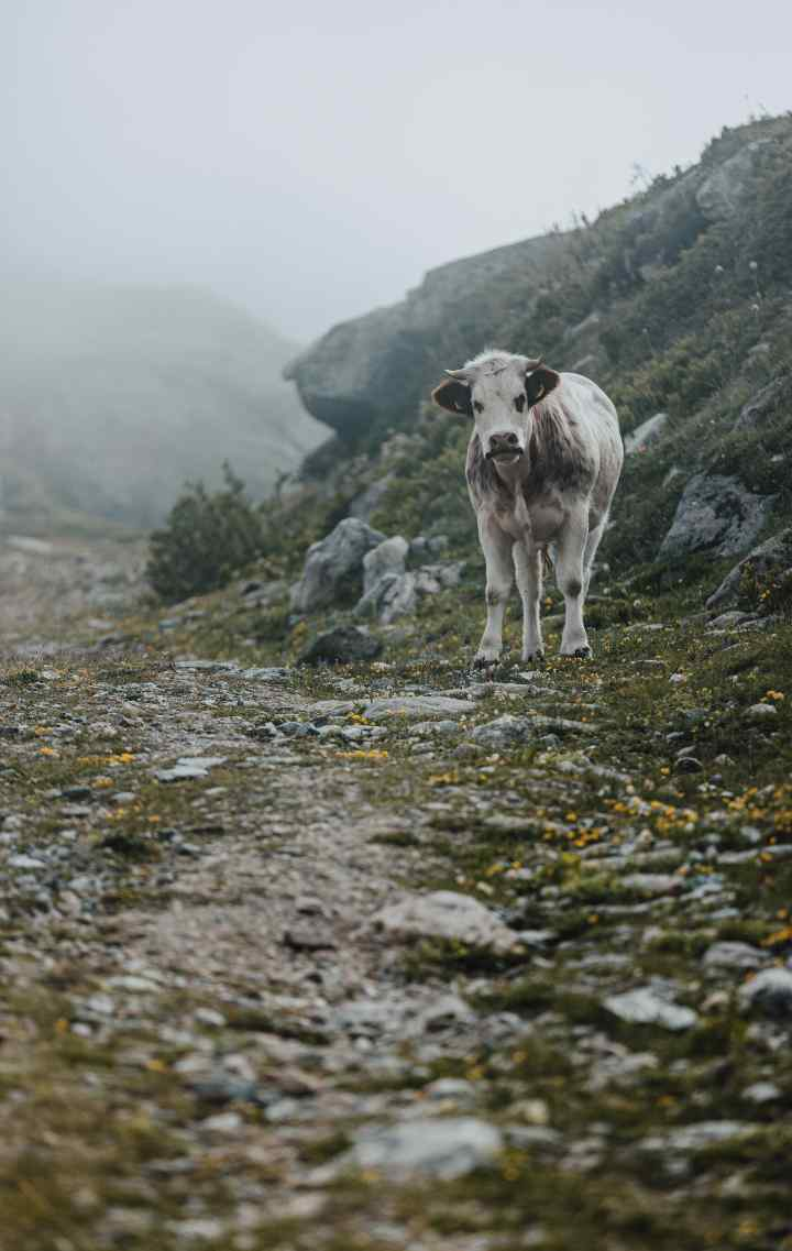 A cow looks inquisitively down a gravel path toward the camera